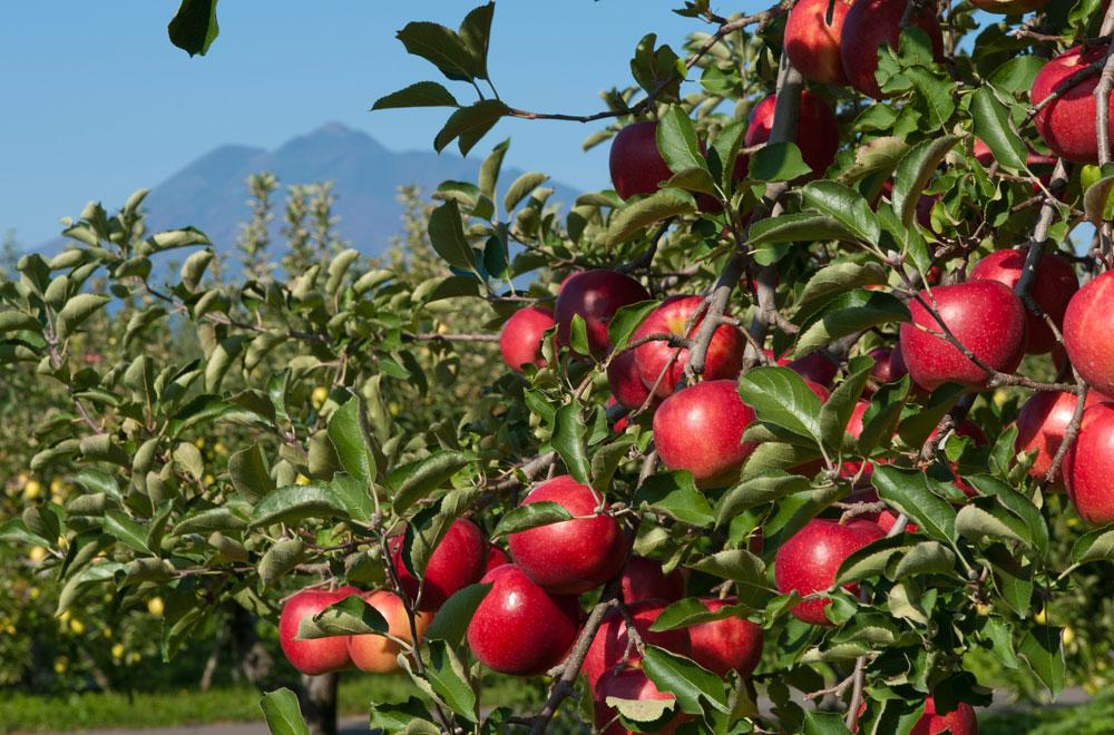 藤崎町の木 りんご「ふじ」