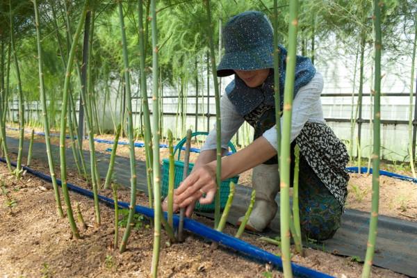 アスパラガスの収穫の様子2