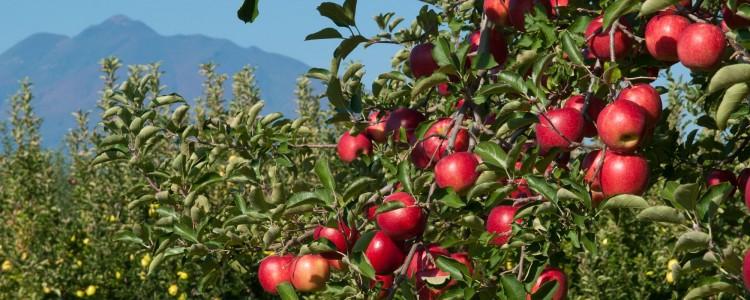 りんご(ふじ・こうこう・紅の夢)