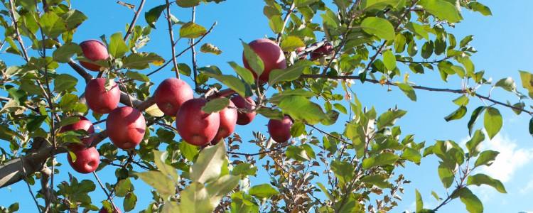 「ふじ」りんご発祥の地