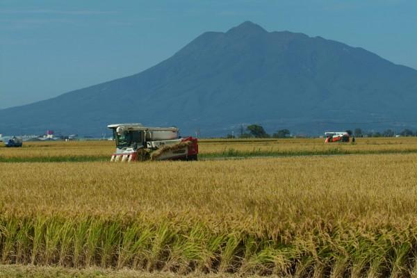 稲刈りrice02