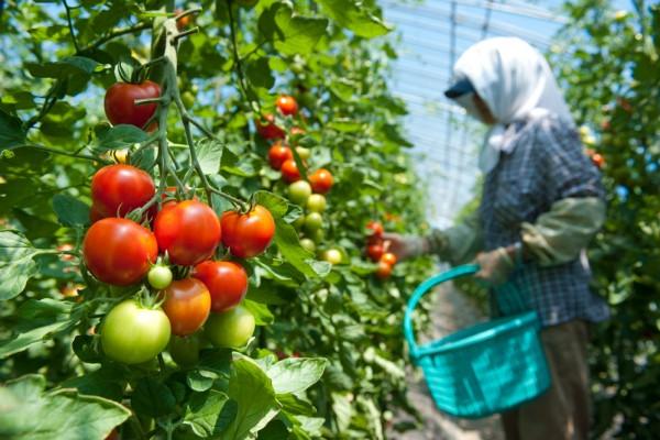 トマトの収穫風景