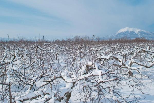 「ふじりんご」の歴史