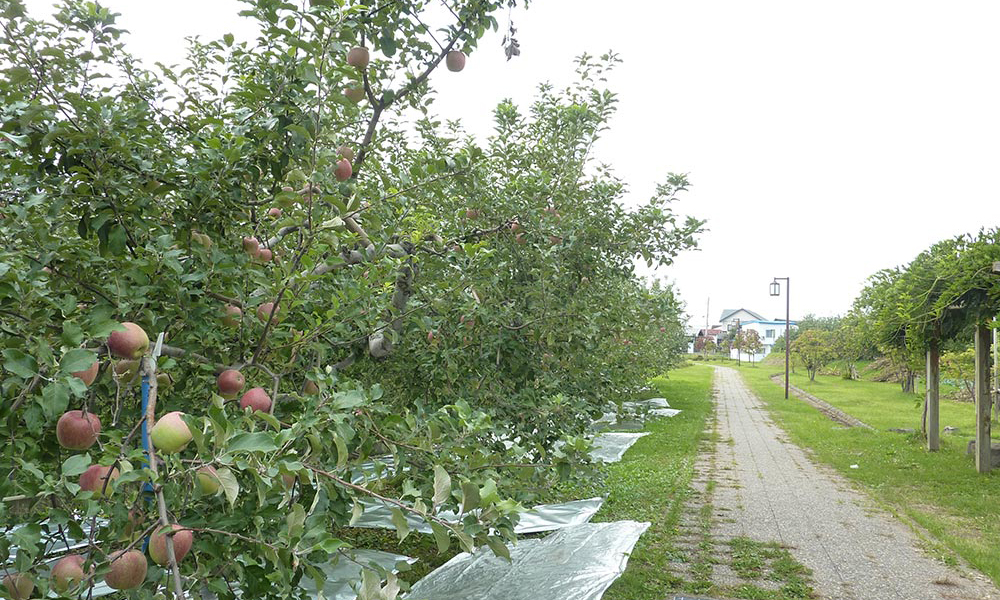 道端のりんごの木